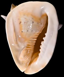 Cassiscornutaventre