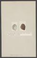 Castalia ambigua - - Print - Iconographia Zoologica - Special Collections University of Amsterdam - UBAINV0274 005 07 0028.tif