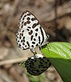 Castalius rosimon - Common Pierrot mating at Mayyil 29.jpg