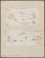 Catostomus teres - 1700-1880 - Print - Iconographia Zoologica - Special Collections University of Amsterdam - UBA01 IZ15000003.tif