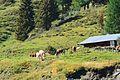 Cattle in Hüttschlag 01.jpg
