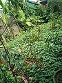 Cau Việt Nam trong một vườn cây ở Phường 1, Đông Hà.jpg