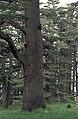Cedars06(js).jpg
