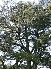 Um cedro-do-líbano plantado nos Longwood Gardens