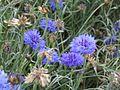 Centaurea cyanus 002.jpg