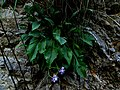 Centaurea derventana IMG 4257.jpg
