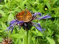 Centaurea montana100610 027.jpg