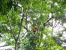 Central American Squirrel Monkey 5.jpeg