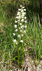 Cephalanthera longifolia plant100604.jpg