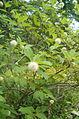 Cephalanthus occidentalis BotGardBln07122011E.jpg