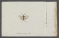 Cephalcia - Print - Iconographia Zoologica - Special Collections University of Amsterdam - UBAINV0274 047 05 0013.tif