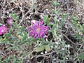 Cephalophyllum procumbens -倫敦植物園 Kew Gardens, London- (9198103121).jpg