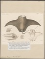 Ceratoptera vampyrus - 1700-1880 - Print - Iconographia Zoologica - Special Collections University of Amsterdam - UBA01 IZ14200141.tif