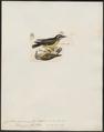 Certhiola chloropyga - 1820-1860 - Print - Iconographia Zoologica - Special Collections University of Amsterdam - UBA01 IZ19000443.tif