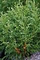 Chamaecyparis pisifera Cream Ball 1zz.jpg