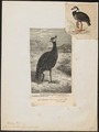 Chauna derbiana - 1863 - Print - Iconographia Zoologica - Special Collections University of Amsterdam - UBA01 IZ17500309.tif