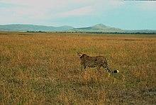 الفهد 220px-Cheetah02(js).