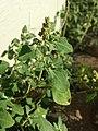 Chenopodium vulvaria sl16.jpg
