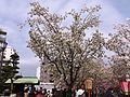 """Cherry-Blossom-Viewing through the """"Tunnel"""" at Japan Mint in 201504 003.JPG"""