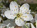 Cherry Plum (Prunus cerasifera) flower (8682124267).jpg