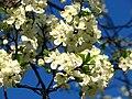 Cherry blossom (Cerasus) 18.JPG