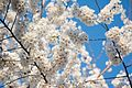 Cherry blossoms 0014 - Washington DC - 2014-04-10 (13772882015).jpg