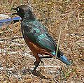 Chestnut-bellied Starling 01.jpg