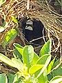 Chestnut Munia or Philippine Maya.jpg
