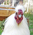 Chicken head.jpg