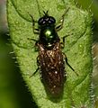 Chloromyia formosa (Broad Centurion) - female - Flickr - S. Rae (1).jpg
