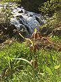 Chocolate Lily at Englishman River Falls.jpeg