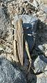Chorthippus dorsatus f 10581.jpg
