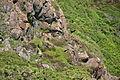 Choughs above Kynance Cove (8105).jpg