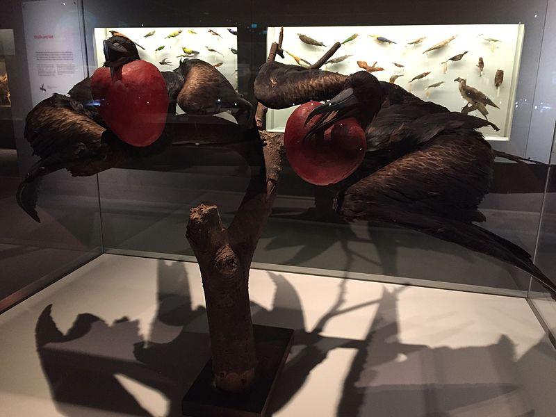 File:Christmas Island frigatebirds (Fregata andrewsi; male), Lee Kong Chian Natural History Museum, Singapore - 20150808.jpg