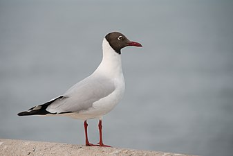 Chroicocephalus brunnicephalus , brown headed-gull - Bang Pu, Bangkok (13403821744).jpg