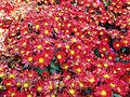 ChrysanthemumMorifolium10.jpg