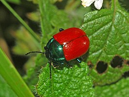 Chrysolina grossa