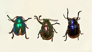 <i>Colasposoma</i> Genus of leaf beetles