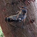 Cicadas Mating - Flickr - treegrow.jpg