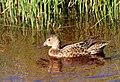 Cinnamon Teal on Seedskadee National Wildlife Refuge (26748629081).jpg