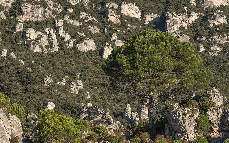 "The ""Cirque de Mourèze"" is a steephead of whitch the chaotic appearance was made by the erosion of dolomite rocks. In close-up a Pinus pinaster. Mourèze, Hérault, France."