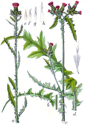 Sumpf-Kratzdistel (Cirsium palustre)  aus: Jakob Sturm, Deutschlands Flora in Abbildungen, Stuttgart (1796)