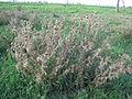 Cirsium vulgare plant5 (12400956445).jpg