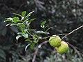 Citrus plant IMG 7594.jpg