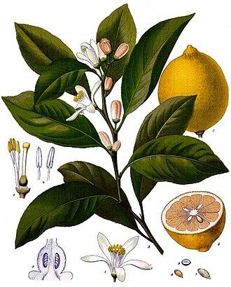 Lemon - Detailed taxonomic illustration by Franz Eugen Köhler.