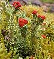Cladonia bellidiflora 3.jpg