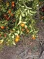 Clementine nechalim 2014 A 02.jpg