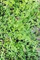 Clinopodium vulgare in Jardin des 5 sens (3).jpg