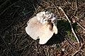 Clitopilus prunulus 050922w.jpg