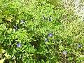 Clitoria ternatea plant by Dr. Raju Kasambe DSCN1309 (16).jpg